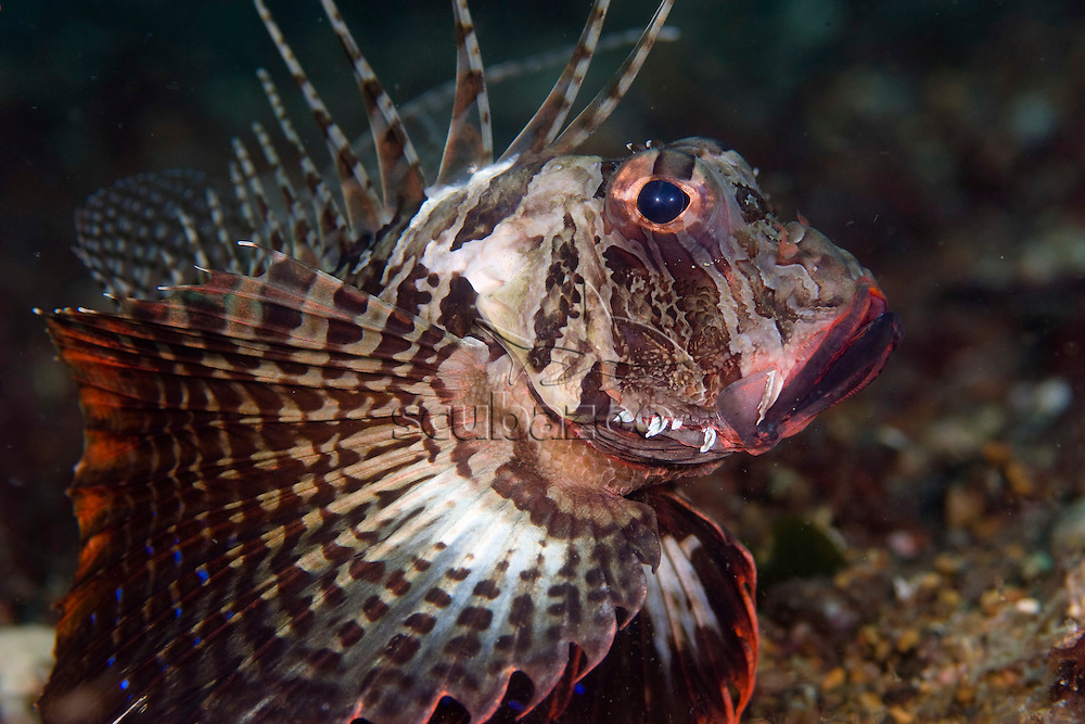 Gurnard Lionfish, Parapterois heterurus, Anilao, Solo, Anilao Mabini, Batangas, Philippines