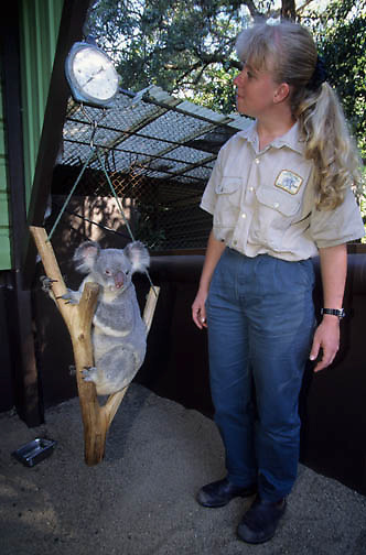 Koala (Phascolarctos cinereus) with an employee at Lone Pine Koala Sanctuary in Australia.