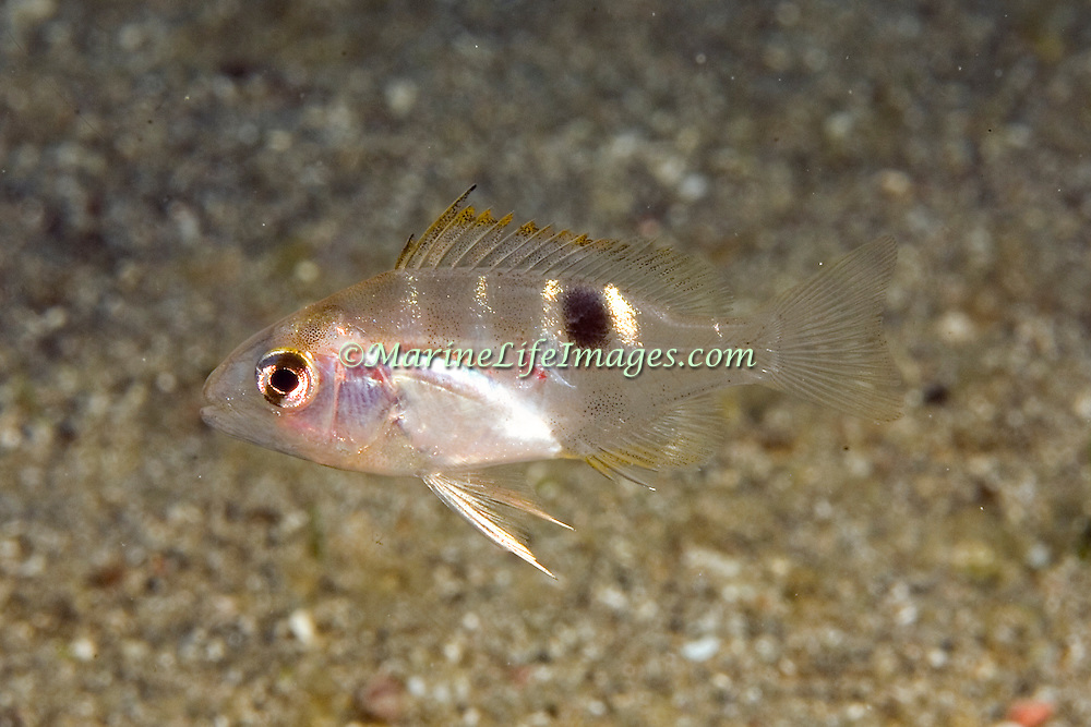 Lane Snapper, young juvenile, inhabit shallow areas of sand and patch reefs in Tropical West Atlantic; picture taken St. Vincent.