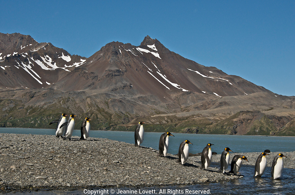 King penguins cross glacier river heading toward their chicks with mountain in the background.