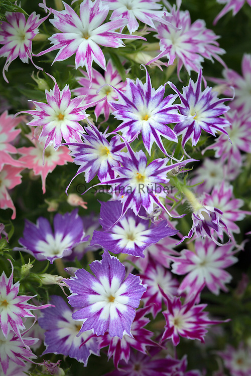 Phlox drummondii cuspidata 'Twinkling Beauty' mixed - annual phlox