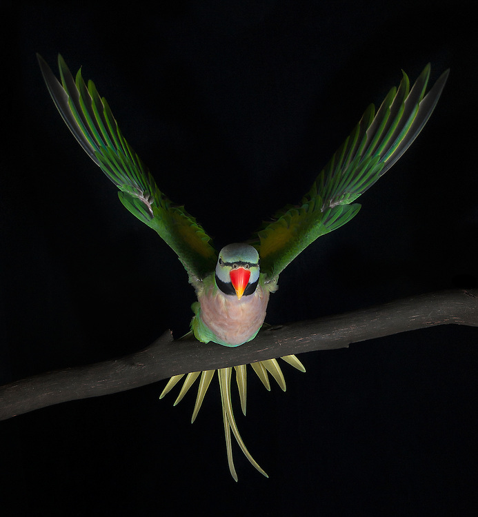 Red-breasted Parakeet, (Psittacula alexandri), captive, credit: Pandemonium Aviaries/M.D.Kern