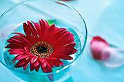 Red floating flower in blue glass vase.