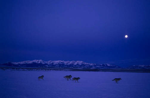 Gray Wolf, (Canis lupus) Pack running across frozen reservior with moonrise in Southwest Montana.Winter. Captive Animal.