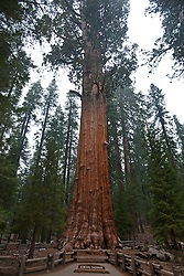 General Sherman, a Giant Sequoia tree (Sequoiadendron giganteum), Sequoia National Park, California, United States of America