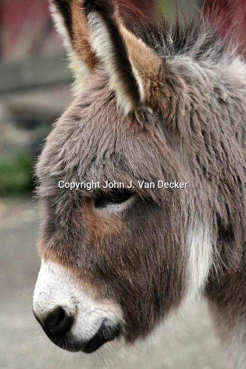 Head of Sardinian Donkey looking left