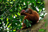 Adult female Bornean Orangutan (Pongo pygmaeus) eating fruits of Polyalthia sp.  Gunung Palung National Park, West Kalimantan, Indonesia.