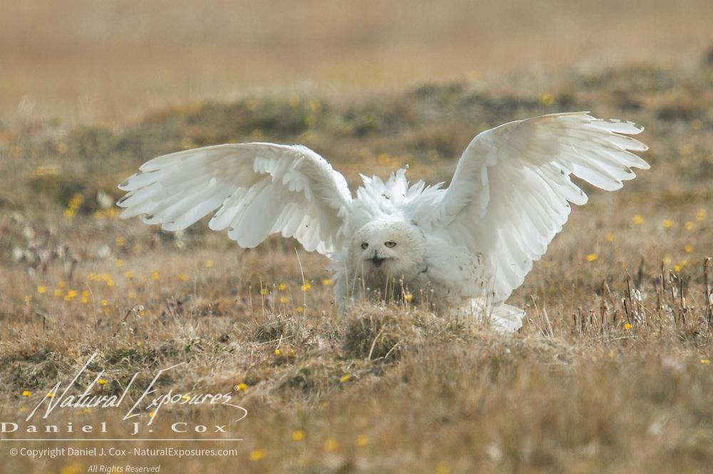A female snowy owl (Bubo scandiacus) showing threat display behavior near its nest. Alaska