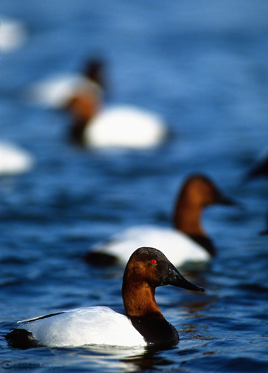 Canvasback ducks, Aythya valisineria;