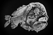 FEATURE: Fish Skeletons
