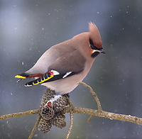 The Bohemian waxwing (Bombycilla garrulus) is a starling-sized passerine bird that breeds in the northern forests of Eurasia and North America. It has mainly buff-grey plumage, black face markings and a pointed crest. Its wings are patterned with white and bright yellow, and some feather tips have the red waxy appearance that give this species its English name. The three subspecies show only minor differences in appearance. Females are similar to males, although young birds are less well-marked and have few or no waxy wingtips. Although the Bohemian waxwing's range overlaps those of the cedar and Japanese waxwings, it is easily distinguished from them by size and plumage differences.