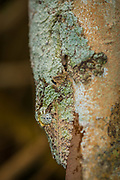 Mossy Leaf-tailed Gecko (Uroplatus sikorae), is found in primary and secondary forests on Madagascar. It has the ability to change its skin color to match its surroundings and possesses dermal flaps which break up its outline when at rest.