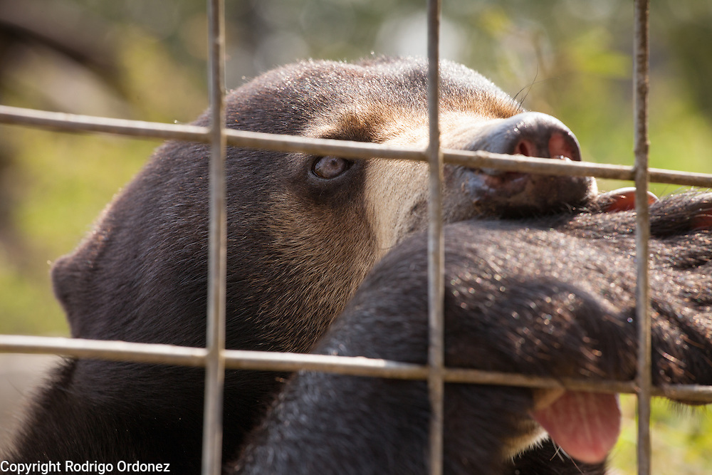 A sun bear sucks a paw, a stress response to human presence, at the Sun Bear Sanctuary run by the Borneo Orangutan Survival Foundation in the Samboja Lestari conservation area in Kutai Kartanegara district, East Kalimantan, Indonesia, on March 13, 2016. Sun bears (Helarctos malayanus) are classified as Vulnerable by IUCN, since large-scale deforestation in Southeast Asia has dramatically reduced their natural habitat. <br /> (Photo: Rodrigo Ordonez)