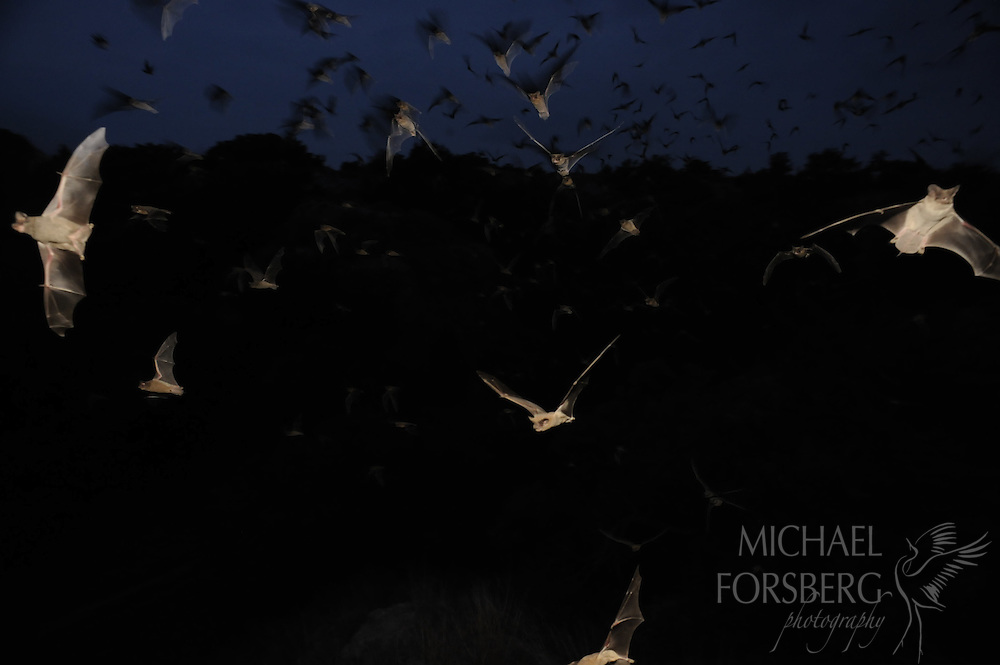 High Plains, Western Oklahoma, east of Woodward...Mexican free-tailed bats flying out of Vickery cave at twilight......