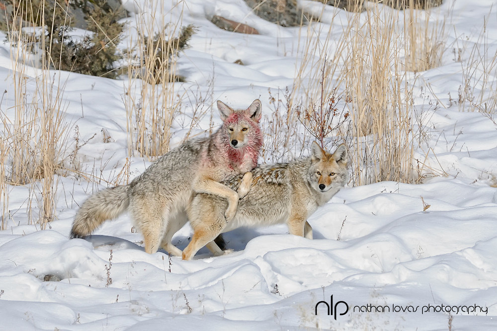 Coyote (Canis latrans) adult male and female, breeding condition, mating behavior, taken in Yellowstone NP, in the wild.