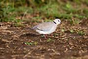Ring-necked Dove, Streptopelia Capicola, Kapturturduva, Ndutu, Tanzania, Africa