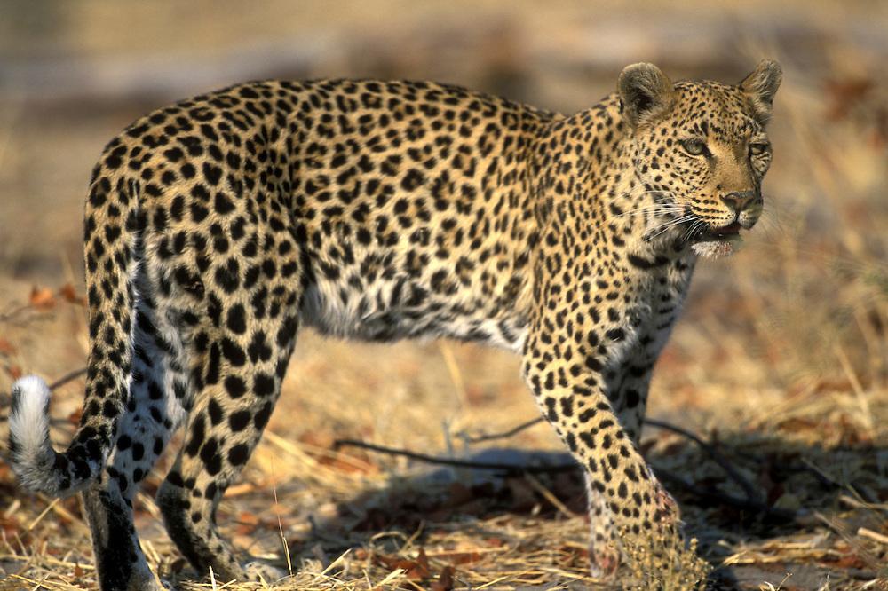 Botswana, Moremi Game Reserve, Adult Female Leopard (Panthera pardus) walking through dry mopane forest near Khwai River