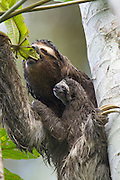 Brown-throated Three-toed Sloth <br /> Bradypus variegatus<br /> Mother and newborn baby (less than 1 week old)<br /> Aviarios Sloth Sanctuary, Costa Rica