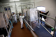 Filipe Carvalho, one of the owners of the companyamd his wife Maria, in the milking parlor.<br /> It is said that Cleopatra always took her bath in donkey milk to keep her beauty eternal. Far beyond the aesthetic benefits, the donkey milk is in the animal world the closest to the human maternal milk and was used as it&acute;s substitute until the twentieth century. More recent findings indicate that the donkey milk can also be consumed by children allergic to cow's milk.<br /> Despite all this, the great utility of the donkey had always been their mobility and strength, with the mechanization of agriculture and the development of transportation, the donkey began to be used less and less. In Portugal, in the twentieth century, a very partircular kind of donkey came in the process of extinction, the race of Miranda.<br /> Four years ago two businessmen in Portugal decided to merge these two factors and create Naturasin, a company dedicated to preserving the kind of Miranda by producing she donkey milk and selling it to the cosmetic industry.<br /> The small farm in Couco a village 100 km from Lisbon is this days selling milk to countries as far away as South Korea, it has 50 she donkeys and in 2011 were born in the farm 17 copies of the endangered species. In Portugal. 20/01/2012 NO SALES IN PORTUGAL