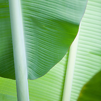 close-up of banana leaves in plantation