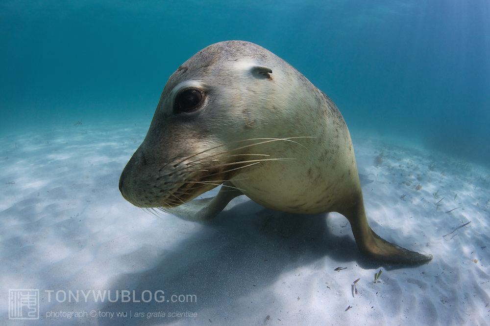 Young male Australian sea lion (Neophoca cinerea) resting on the sand in shallow water at Carnac Island in Western Australia.