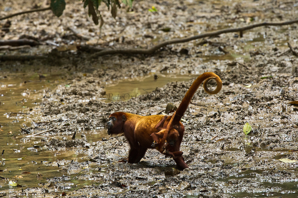 Red Howler Monkey (Alouatta seniculus) & Baby at saltlick<br /> Tiputini River, Yasuni National Park, Amazon Rainforest<br /> ECUADOR. South America<br /> HABITAT & RANGE: Amazon Basin in Venezuela, Colombia, Ecuador, Peru, Bolivia and Brazil.