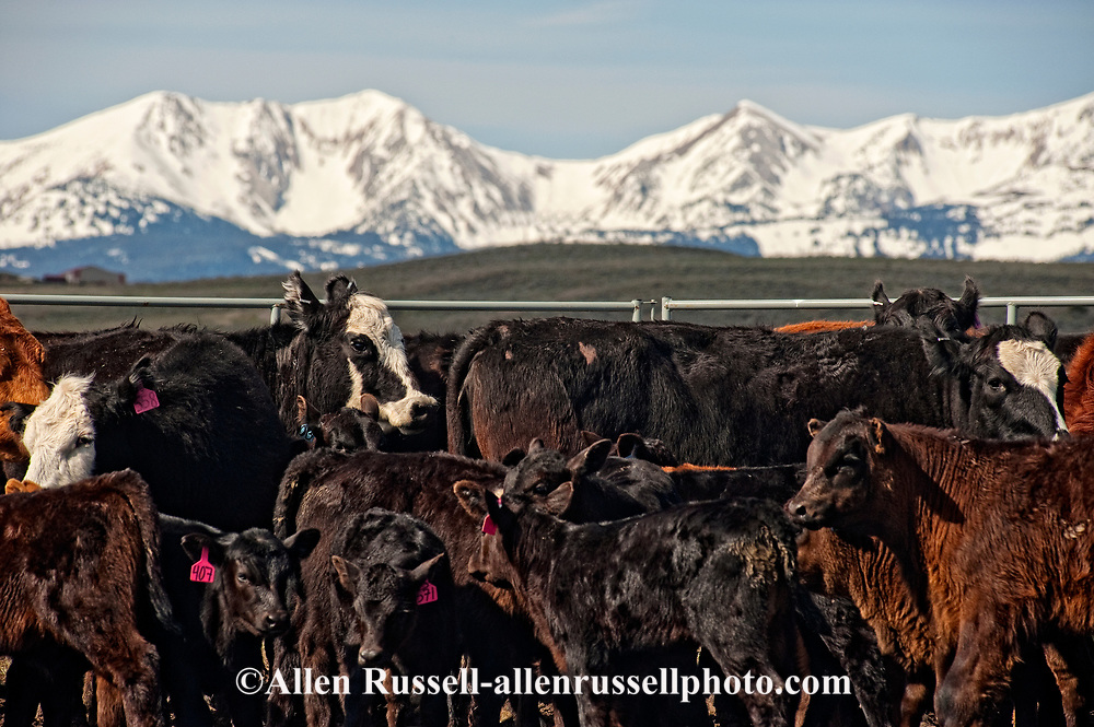 Angus cows and calves gathered for branding, Wilsall, Montana, Bridger Mountains,<br /> PROPERTY RELEASED