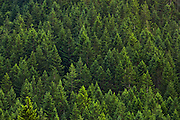 a temperate coniferous forest on a hillside in the Green Mountain State Forest, Kitsap Peninsula, Washington, USA