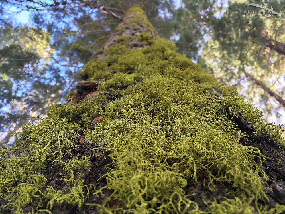 Moss grows on a tree. Sequoia National Park, California.