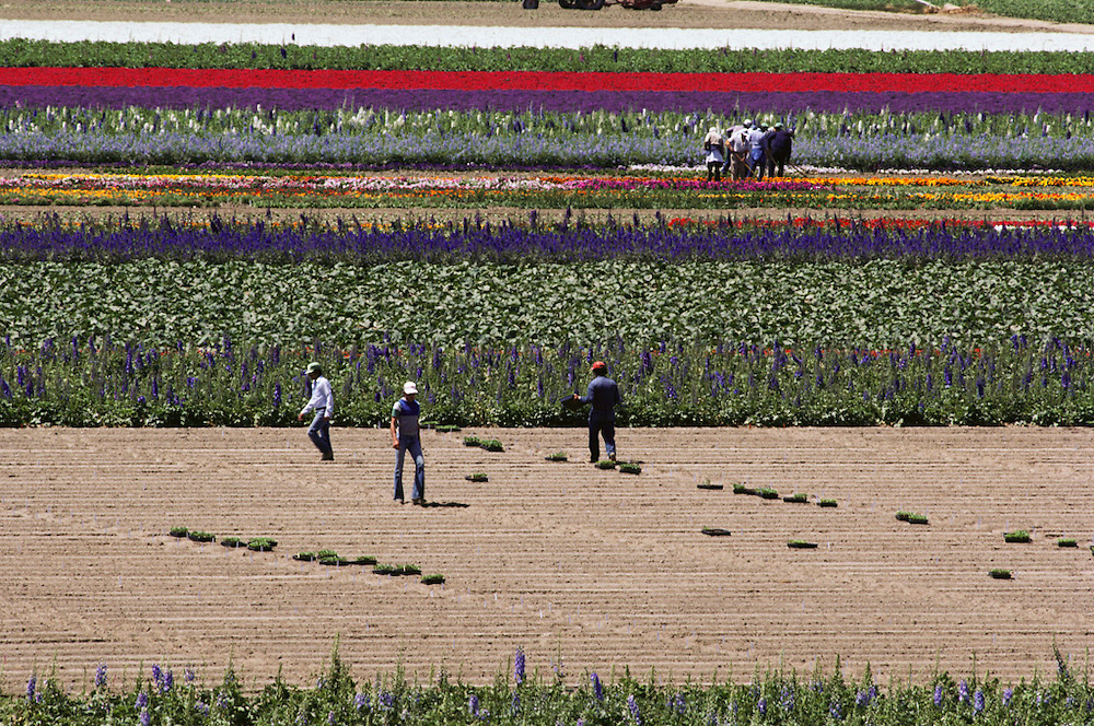 Farm worker in flower fields grown for seed: Lompoc, California.