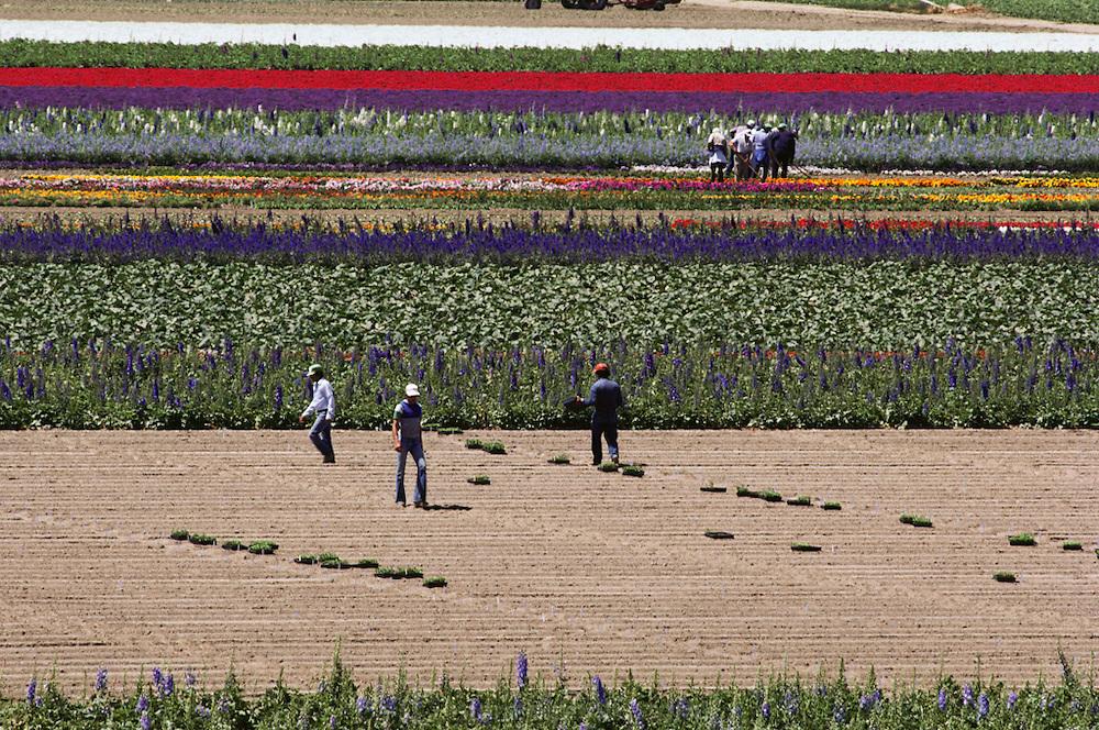 Farm worker in flower fields grown for seed: Lompoc, California.