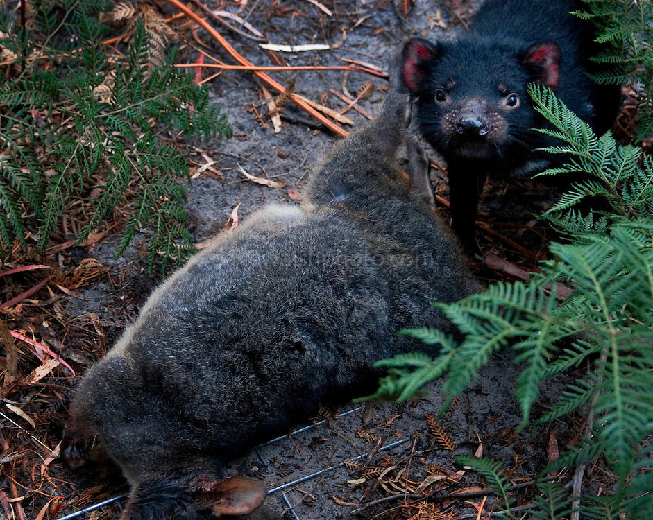Tasmanian Devil Tosca, about to feeding on a wallaby..provided by scientist Chrissy Pukk. Tosca and Mozart were seperated from parents suffering from the contagious Devil Facial Tumour Disease which is threatening the devil population.