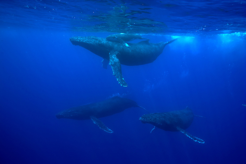 USA, Hawaii, Big Island, Underwater view of Humpback Whale Cow and Calf (Megaptera novaengliae) pursued by males during breeding season in Pacific Ocean