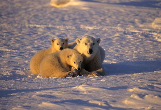 Polar Bear, (Ursus maritimus) Mother and cubs resting. Hudson Bay. Churchill, Manitoba. Canada.