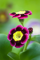Primula auricula - Sarah's unnamed varieties from John Massey