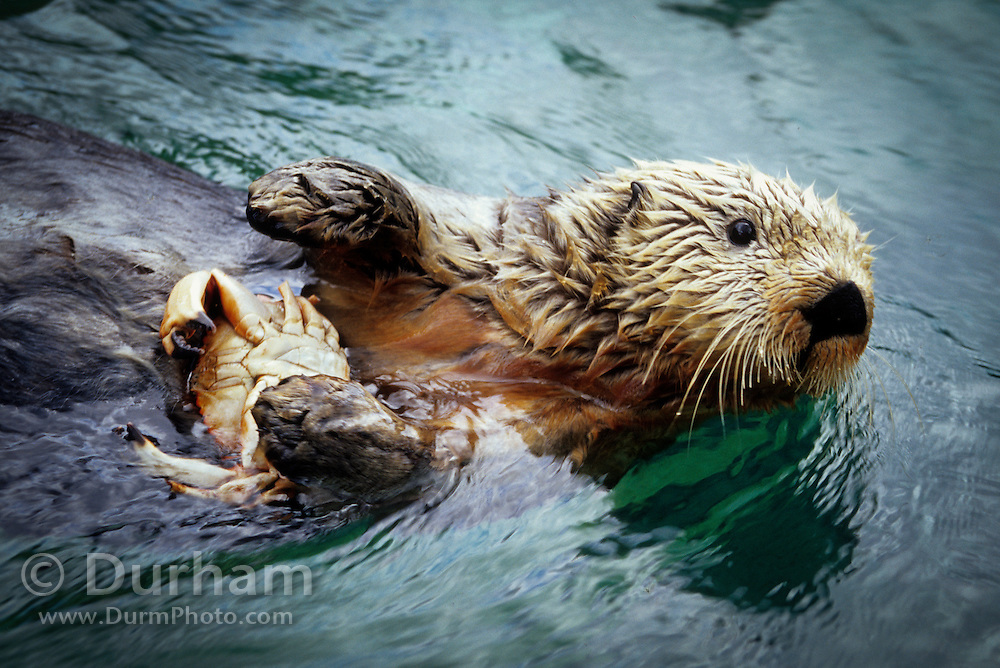 A northen sea otter (Enhydra lutris nereis) eating a crab in Monterey Bay, California.