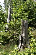 tote Baumstämme, Naturschutzgebiet Kahle Haardt bei Scheid am Edersee, Nordhessen, Hessen, Deutschland | dead trees, nature reserve Kahle Haardt near Scheid on Lake Eder, Hesse, Germany