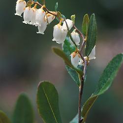Acadia N.P., ME..Leatherleaf, chamaedaphne calyculata, near Jordan Pond.