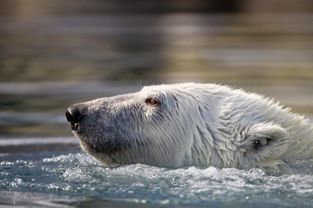 Norway, Svalbard, Spitsbergen Island, Polar Bear (Ursus maritimus) swimming along coastline near Sallyhamna (Sally Bay) on summer day