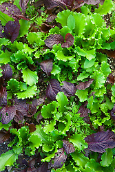 Summer salad leaf mix. Wild Rocket, Carrot leaf, Sorrel, Mustard, and Lettuce