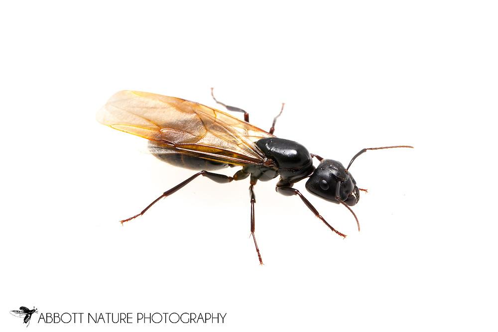Carpenter Ant (Camponotus sp.) reproductive<br /> TEXAS: Jasper Co.<br /> Brookeland/Lake Sam Rayburn KOA @ 505 Co Rd 212<br /> 31.141606, -93.994174<br /> 20.May.2015<br /> J.C. Abbott #2733 &amp; K.K. Abbott
