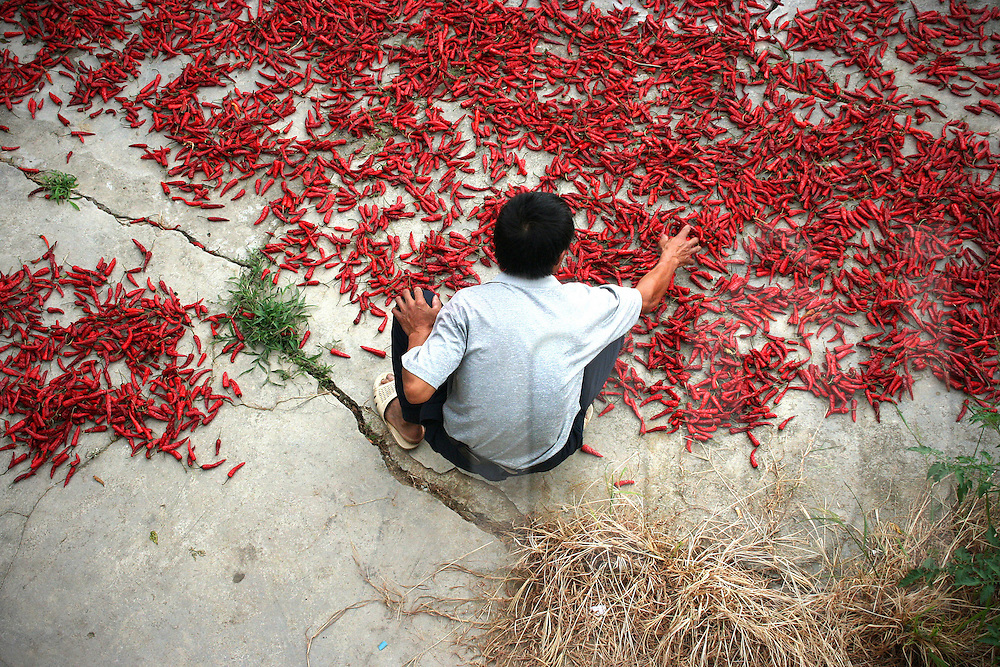 A man sorts through chili peppers scattered across the concrete ground in Ping'An area, Guangxi, China, Asia