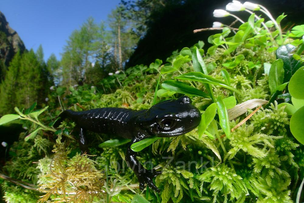 Alpine Salamander (Salamandra atra) in the Umbal valley west of Hinterbichl. High Tauern National Park. | Alpensalamander (Salamandra atra) im Umbaltal westlich von Hinterbichl im Nationalpark Hohe Tauern in Österreich.