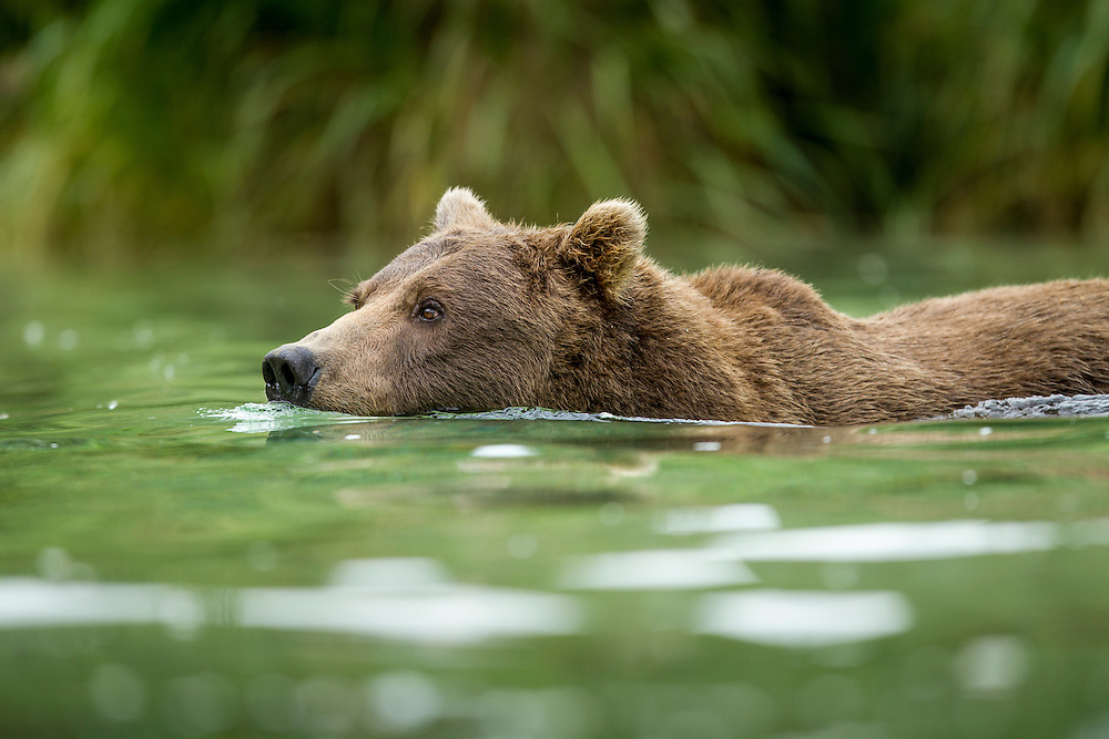 USA, Alaska, Katmai National Park, Coastal Brown Bear (Ursus arctos) swimming in salmon spawning stream by Kuliak Bay