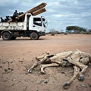 kenya, Dadaab, le 12-08-11 - à proximité du camp Ifo 3.  Des carcasses d'animaux morts jonchent le sol à proximité de Dadaab, le plus grand camp de réfugiés du monde. La corne de l'Afrique subit une des pires sècheresse depuis un quart de siècle.