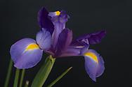 Beautiful purple Iris. 3.6.17 Santa Monica, CA