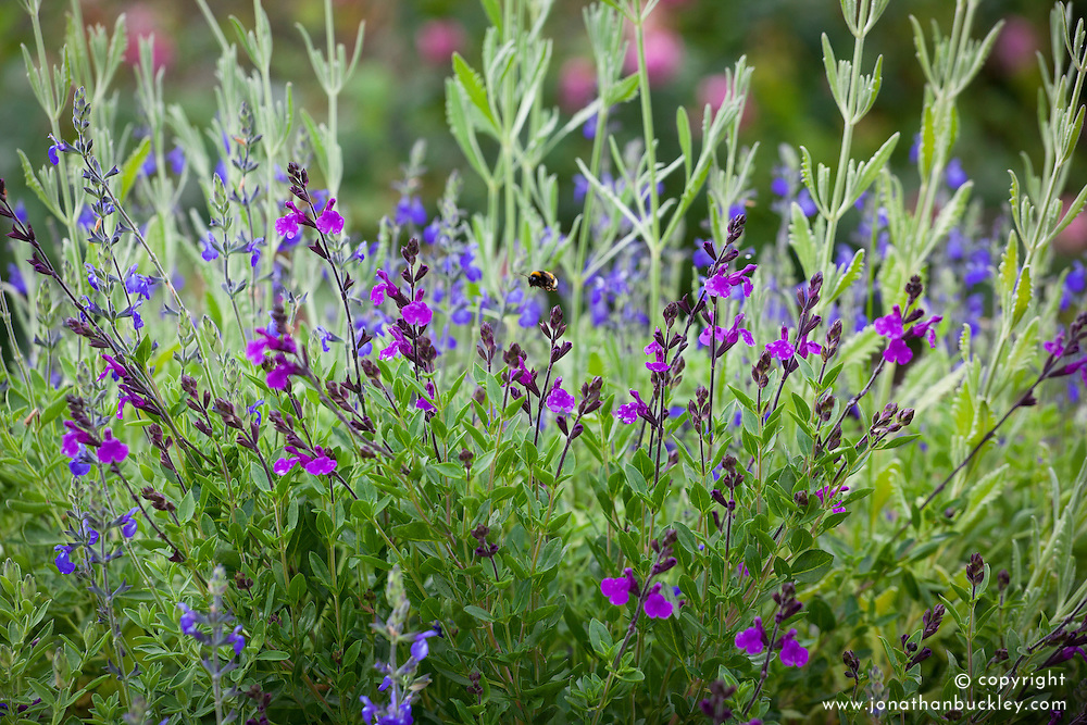 Salvia greggii 'Blue Note', Salvia 'Dyson's Gem' and Lavandula dentata with bee