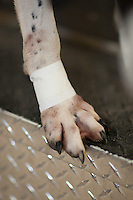 ENGLISH POINTER FOOT TAPED IN PREPARATION FOR HUNTING