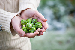 Picking a handful of brussel sprouts on a frosty winter's day.