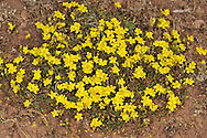 HOARY ROCK-ROSE Helianthemum oelandicum (Cistaceae) Height to 40cm. Branched, spreading and variably hairy shrubby perennial. Found in dry, grassy places, mostly on limestone. FLOWERS are 10-15mm across with 5 crinkly, yellow petals (May-Jul). FRUITS are dry capsules. LEAVES are very narrow and greyish white below. STATUS-Extremely local in N England, Wales; locally very common in W Ireland.